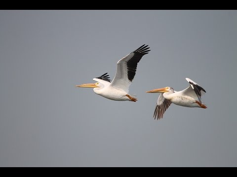 13 Interesting Facts About Pelicans
