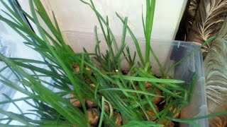 Выращивание зелёного лука на подоконнике от А до Я 2 сорта