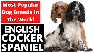 English Cocker Spaniel   Most Popular Dog Breeds In The World!!!