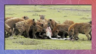 Spotted Hyena Feeding Frenzy | Stomach Doesn't Hurt When They Laugh thumbnail