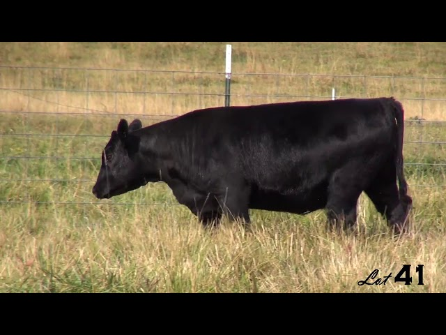 Pine Coulee Angus Lot 41