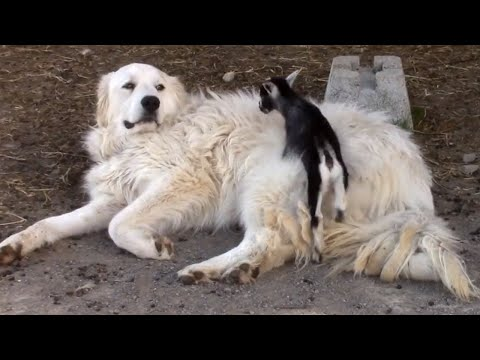 Pyrenean Mountain dog adorably babysits tiny goats