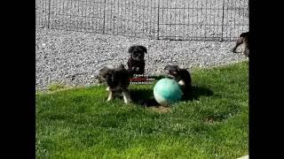 Miniature Schnauzer Puppies For Sale David Kauffman