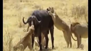 シマウマやヒョウ - サイVSライオン - 最も驚くべき野生生物の攻撃 ////...