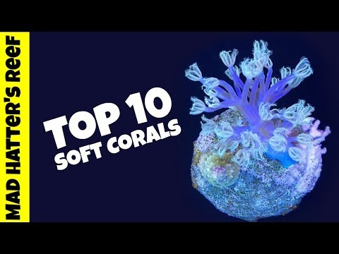 Top 10 Soft Corals For A Reef Tank