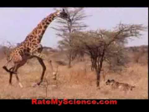 Thumbnail: Lions steal and kill a baby giraffe, Rate My Science