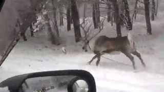 В Кемерове сбежали северные олени