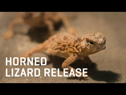 Dallas Zoo's First Wild Release | Texas Horned Lizards