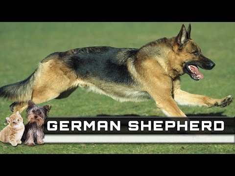 🐕 GERMAN SHEPHERD Dog Breed - Overview, Facts, Traits and Price