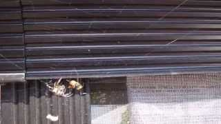 Garden spider vs giant wasp