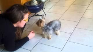 Yorkshire Terrier Mini Kissing Me..louis!!!