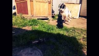 Мопс vs Алабай (part2) / Pug and Central Asian Shepherd Dog