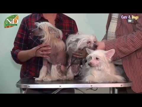 Cats&DogsTV - УДИВИТЕЛЬНЫЙ МИР СОБАК - КИТАЙСКАЯ ХОХЛАТАЯ СОБАКА / CHINESE CRESTED DOGS