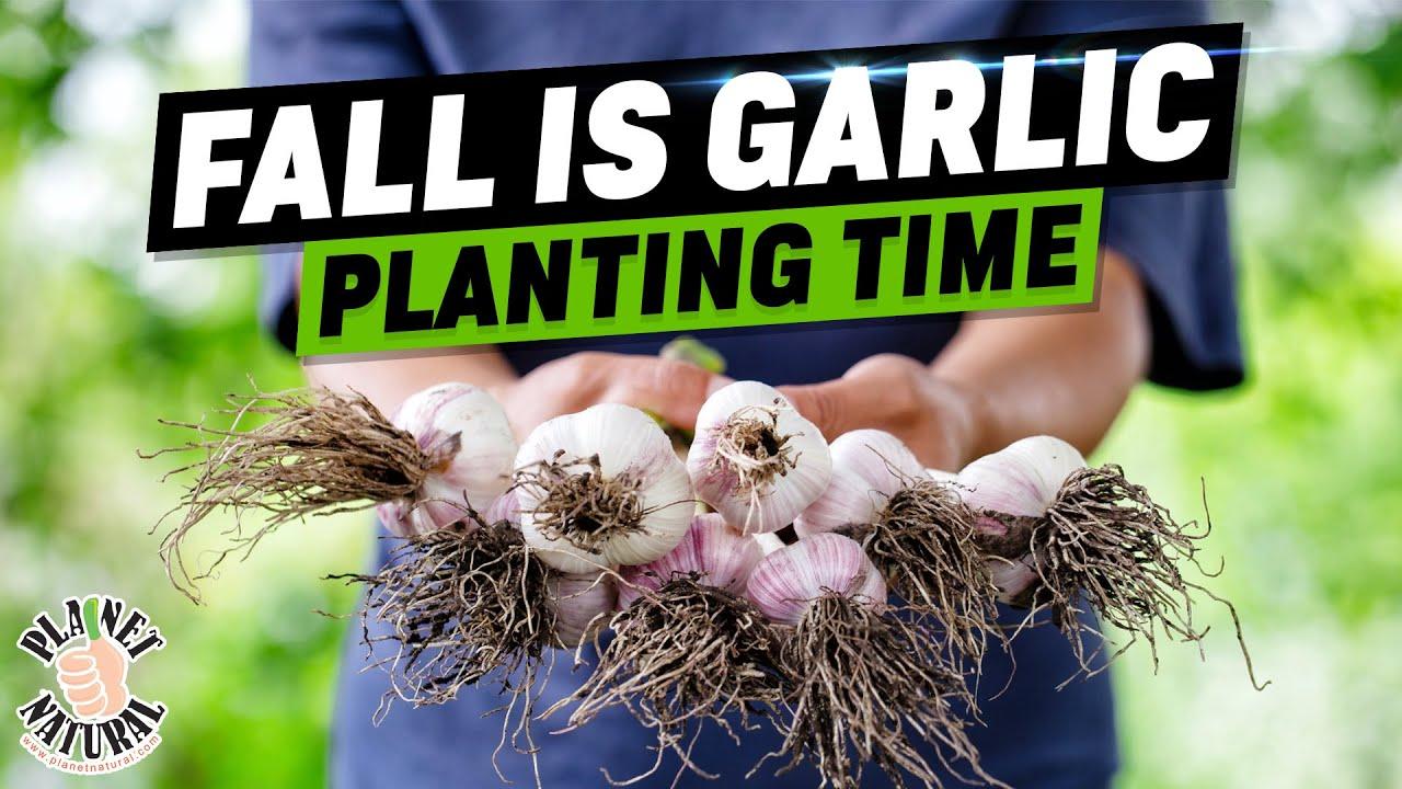 Fall Is Garlic Planting Time Doovi