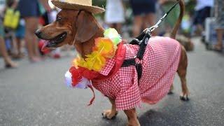 Карнавал для собак в Бразилии.(Карнавал для собак в Бразилии. В Бразилии в преддверии самого зрелищного карнавала в мире состоялся карнав..., 2016-02-09T20:02:15.000Z)