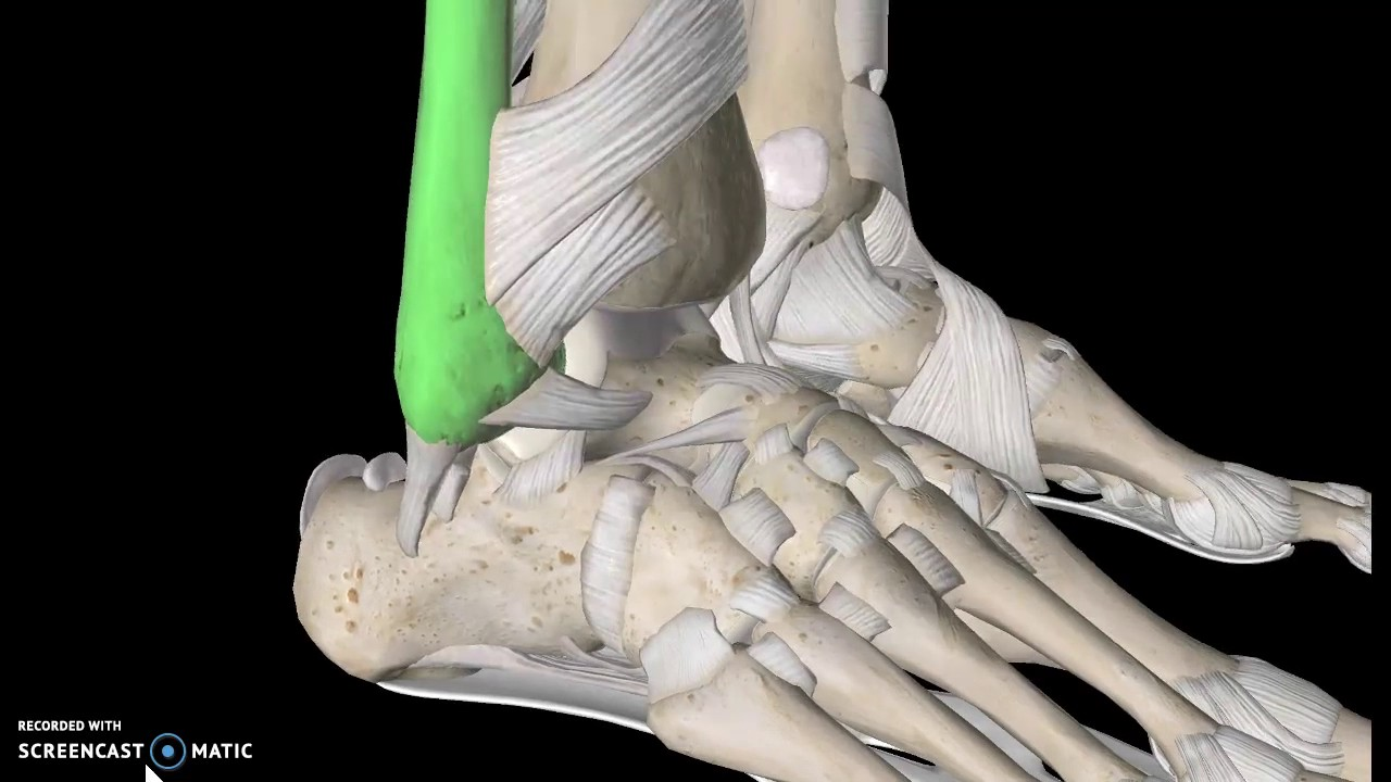 Foot Anatomy Tutorial Ligaments Youtube