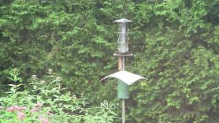 Squirrel Crashes Into Bird Feeder