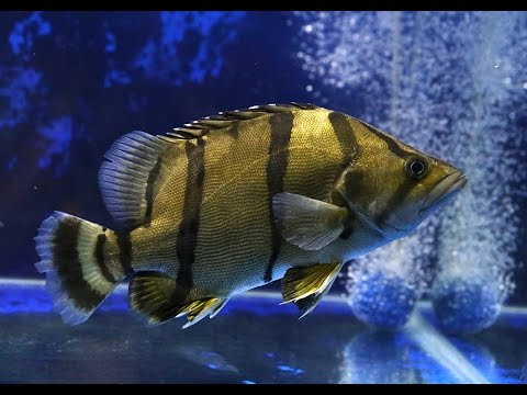 Northern Thai Tigerfish (NTT) 11