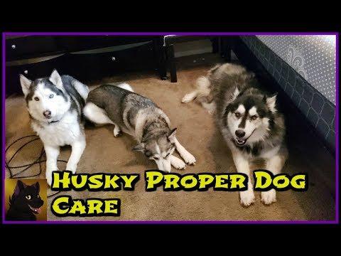 Husky Proper Dog Care
