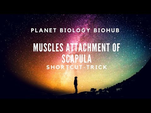 Muscles attachment of Scapula - (Shortcut - Trick)
