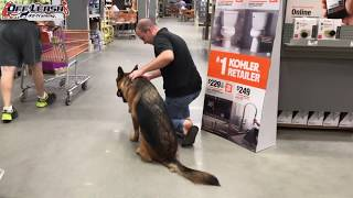 "Mobility Support Task Training | 8 Month Old German Shepherd ""Jaxon"" 