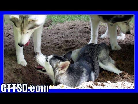 BURY THE HUSKY PUPPY   Dog Digs to China