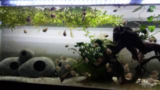 dwarf balloon cichlids fish