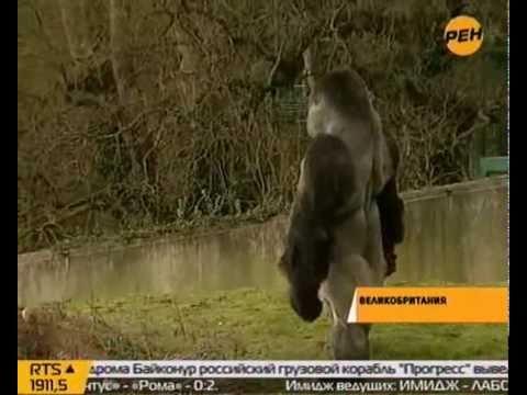 Как ходят гориллы видео