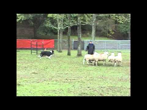 Rough Collie - Herding Trial - PBCA 2005