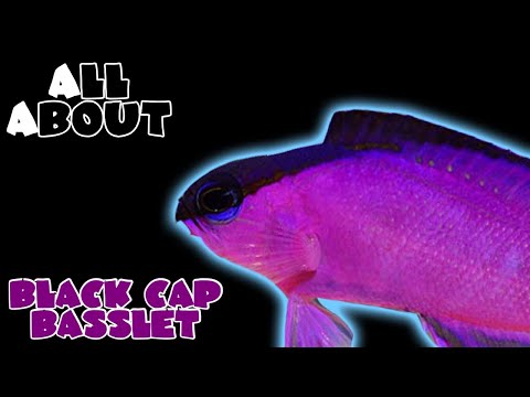All About The Black Cap Basslet