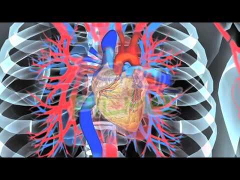 Herz und Blutkreislauf - YouTube
