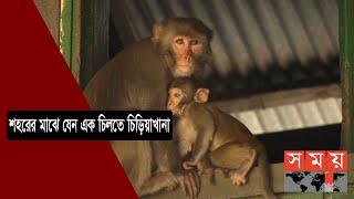অযত্ন অবহেলায় পুরান ঢাকার বানর | Monkey in Dhaka | Somoy TV