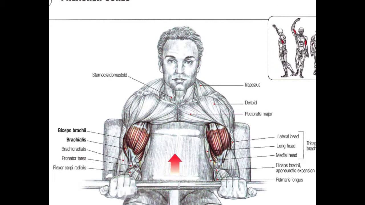 Bodybuilding Anatomy ARMS - YouTube
