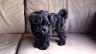 """Our Cute New Puppy Dog """"george"""" Is A Snoodle (poodle X Schnauzer)"""