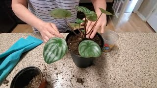 REPOTTING MY WATERMELON PEPPEROMIA PlANT  | DONNA JOSHI