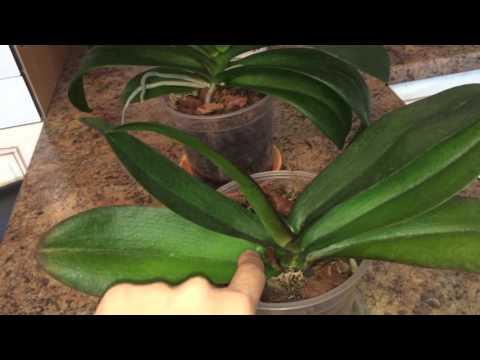В какой горшок пересадит орхидею Фаленопсис, мой опыт