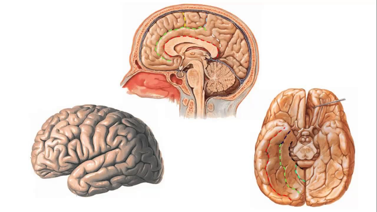 Telencéfalo - Anatomia ESCS - YouTube
