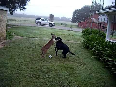 Dog versus Deer ORIGINAL