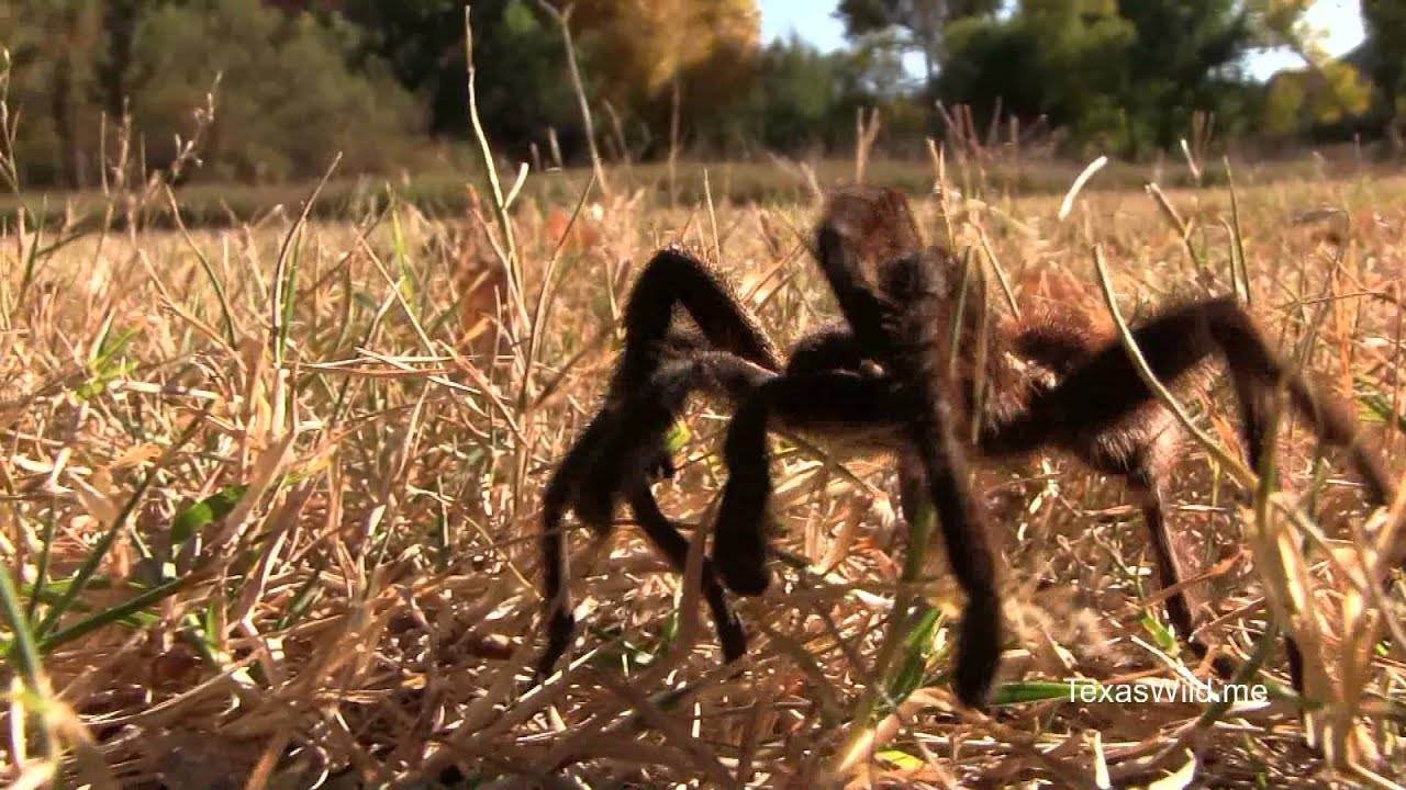 Texas Wild The Texas Brown Tarantula Youtube