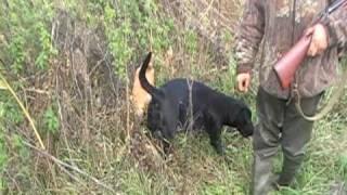 Охота на фазана с Лабрадором в Краснодарском крае осенью