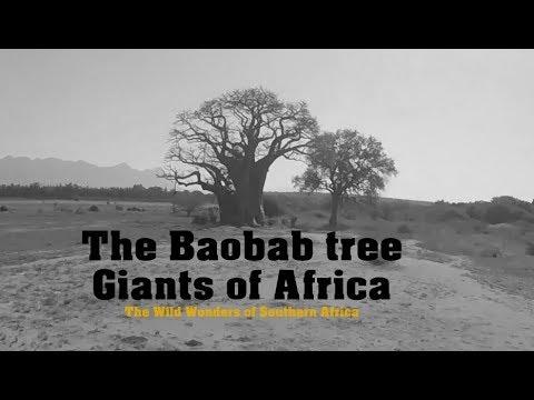 The Baobab Tree   Giants of Africa