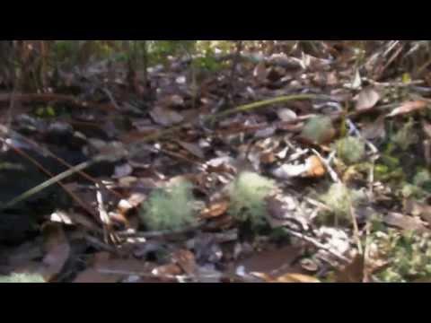 Deer Moss or Deer Lichen