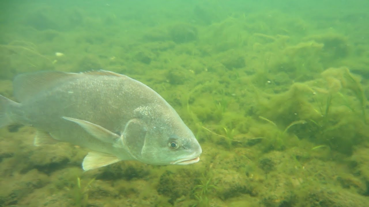 Fish of burton island freshwater drum youtube for How to cook drum fish