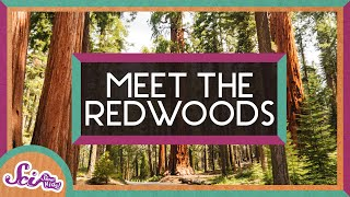 Meet the Redwoods: The Worlds Tallest Trees