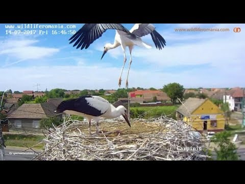 Barza Alba / White Stork Romania, Carpinis  ~  July 1 - 15, 2017