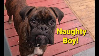Naughty Boxer Dog Sammie The Digger!!! ☹
