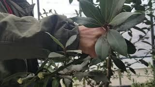 월계수나무 월계수잎 효능