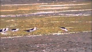 Black winged Stilt or Pied Stilt  Flock & Flight