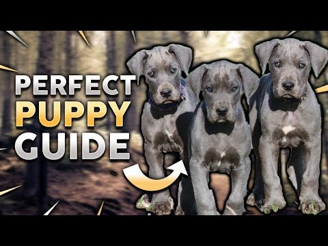 GREAT DANE PUPPY! Perfect Great Dane Puppy Guide!