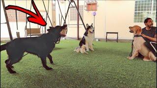 عرضت كلب قولدن للتبني !! وانصدمت باللي صار 🙀💔